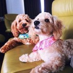 rescue cockapoo puppies