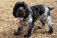 cockapoo rescue uk