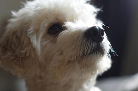 cockapoo rescue puppies