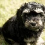 cockapoo puppy rescue