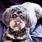 rescue cockapoo