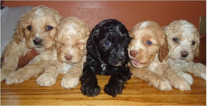 cockapoo black puppies