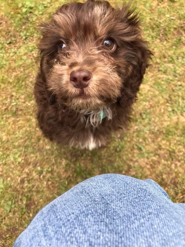training a cockapoo