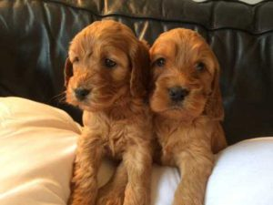red cockapoo for sale