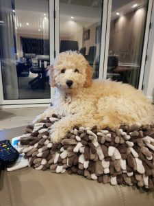 miniature champagne cockapoo puppies for sale