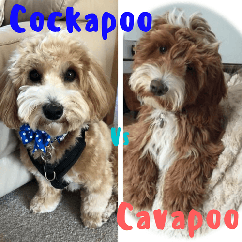Cavapoo | Cockapoo For Life