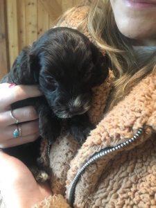 black cockapooo puppy