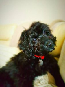 black toy cockapoo