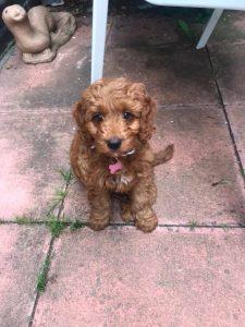 Brown Cockerpoo Puppy £500