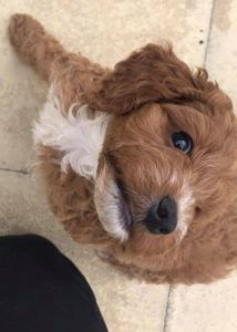 cheap cockerpoo puppy for sale