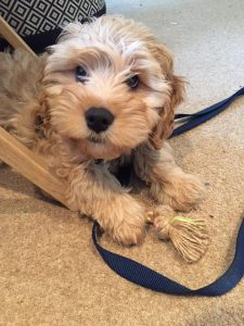 cockapoo training tips for first time owners