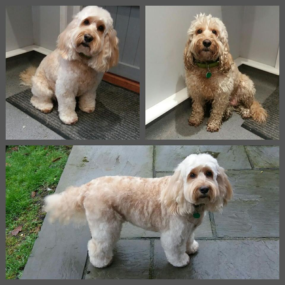 Cockapoo grooming: The Summer Cut