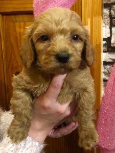 golden cockapoo puppies for sale