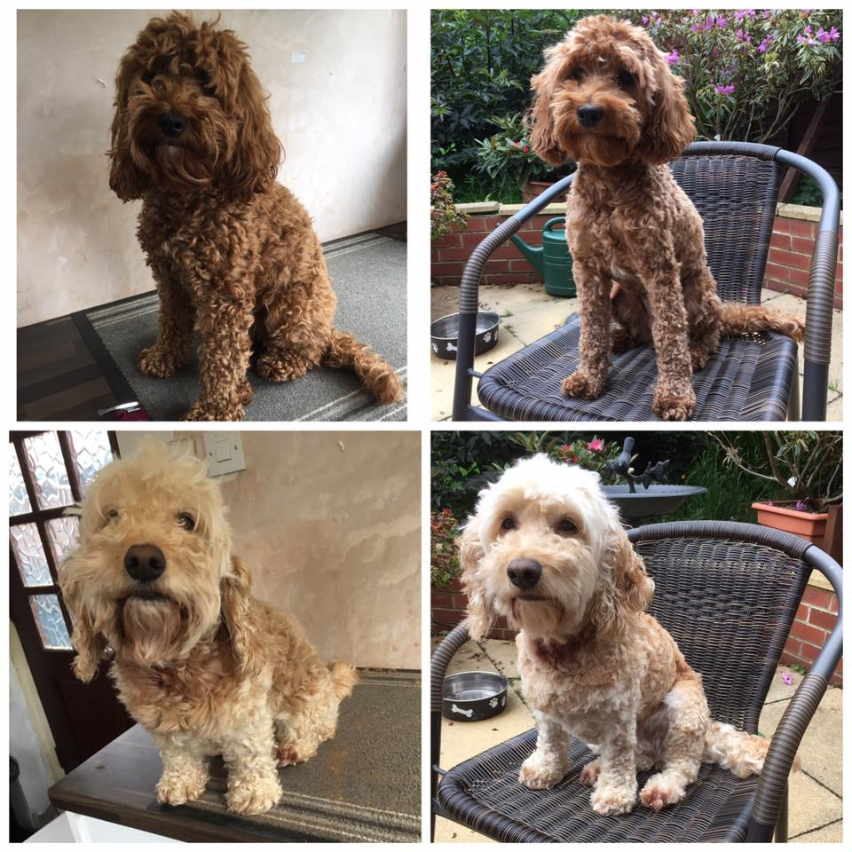 cockapoo grooming curly coats