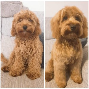 groomed cockapoo before and after