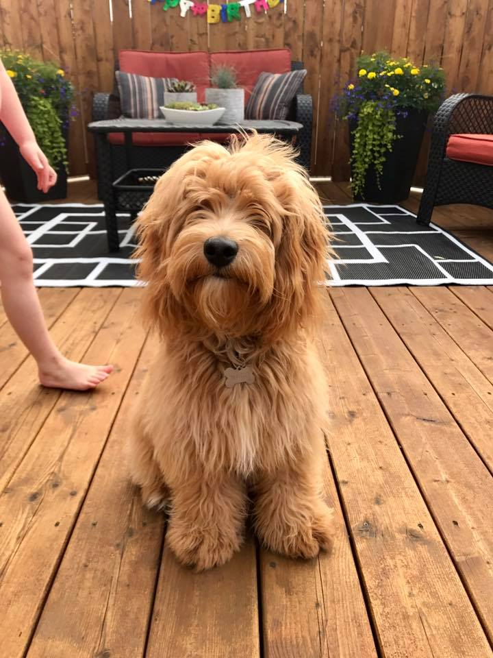 cockapoo hair cuts