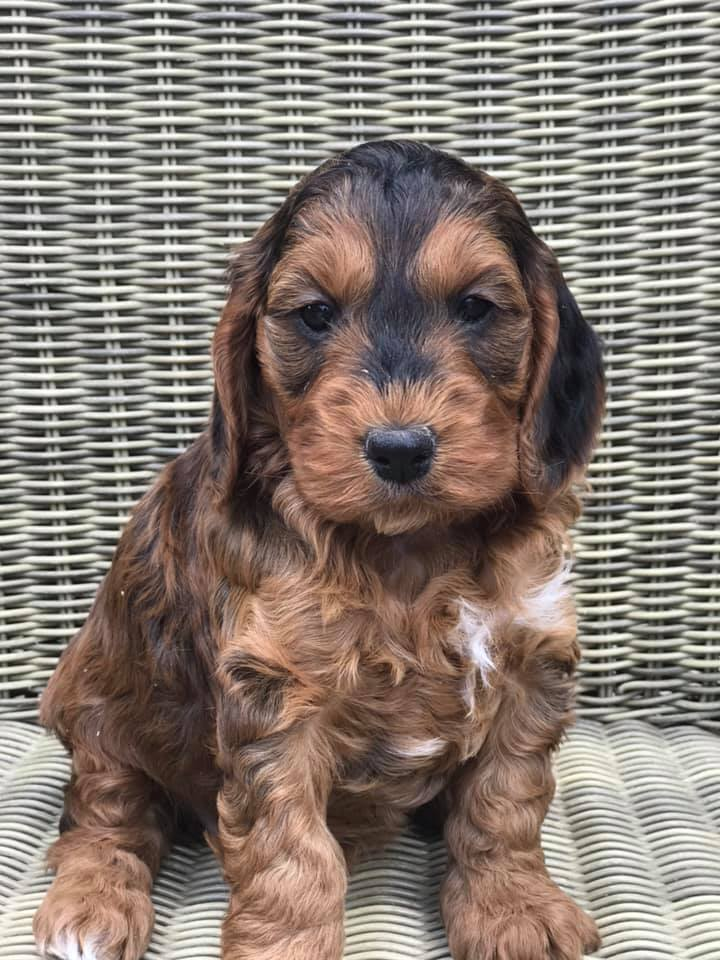 sable red cockapoo