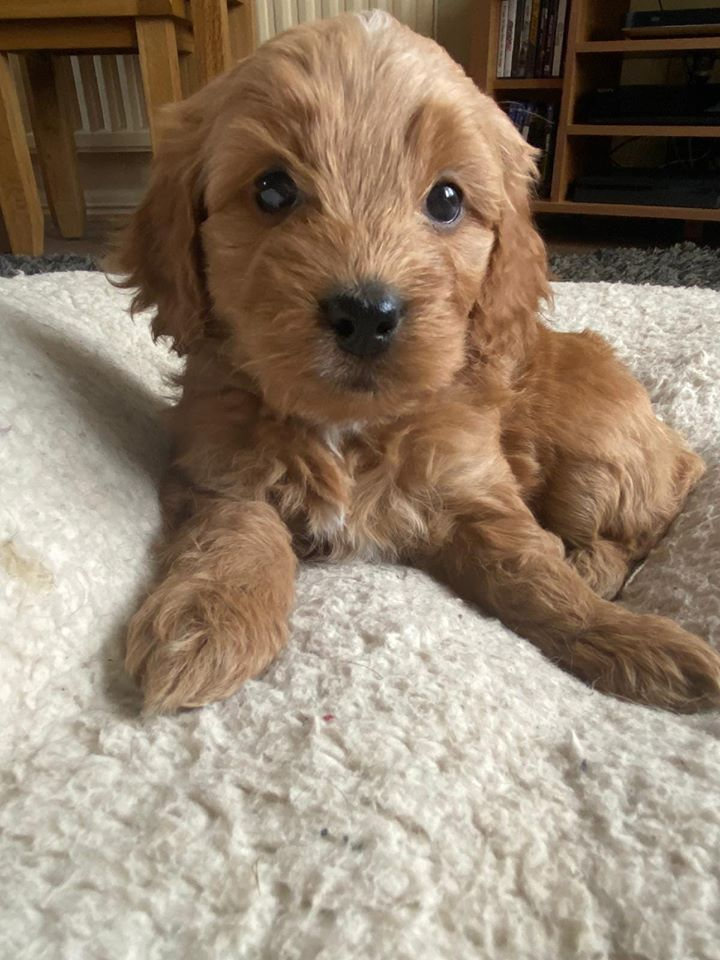 Cockapoo Puppies For Sale In Scotland