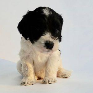 Cockapoo Puppies For Sale in devon