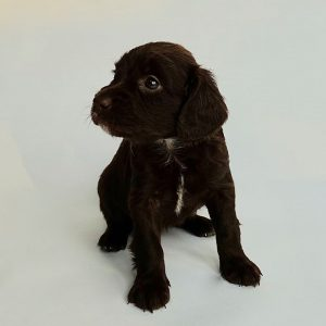Cockapoo Puppies for Sale In Lincolnshire