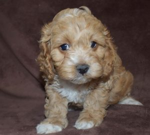 cute cockapoo puppies