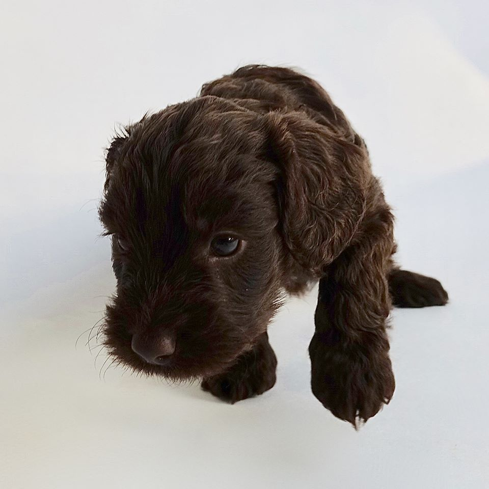 cockapoo for sale Yorkshire
