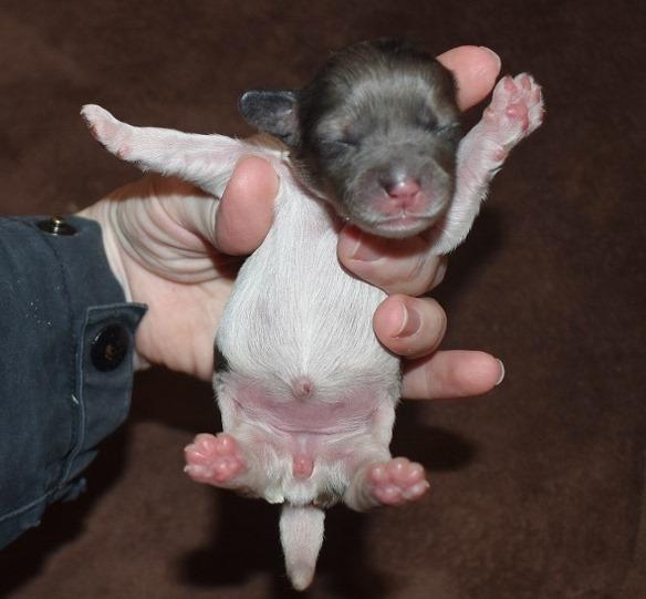 cockapoo puppies 7 days old