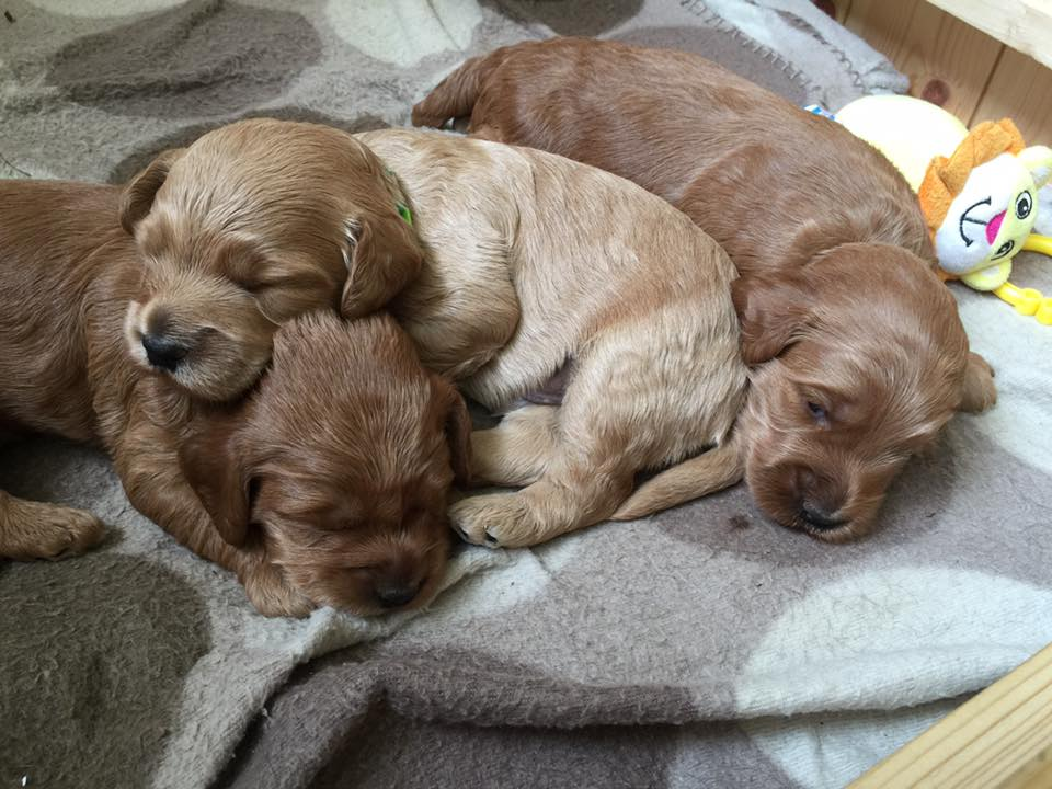 Cockapoo Puppies Cumbria