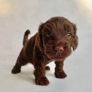 cockapoo puppies for sale in Cambridgeshire