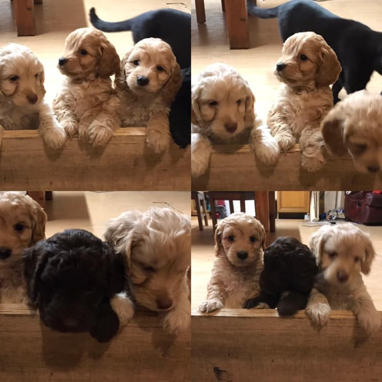 cockapoo training