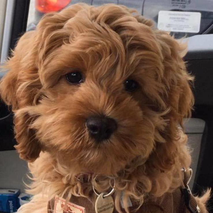 cockapoo puppies for sale in wales