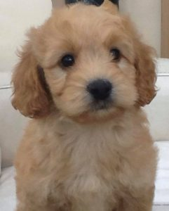cockapoo puppies for sale in Ireland